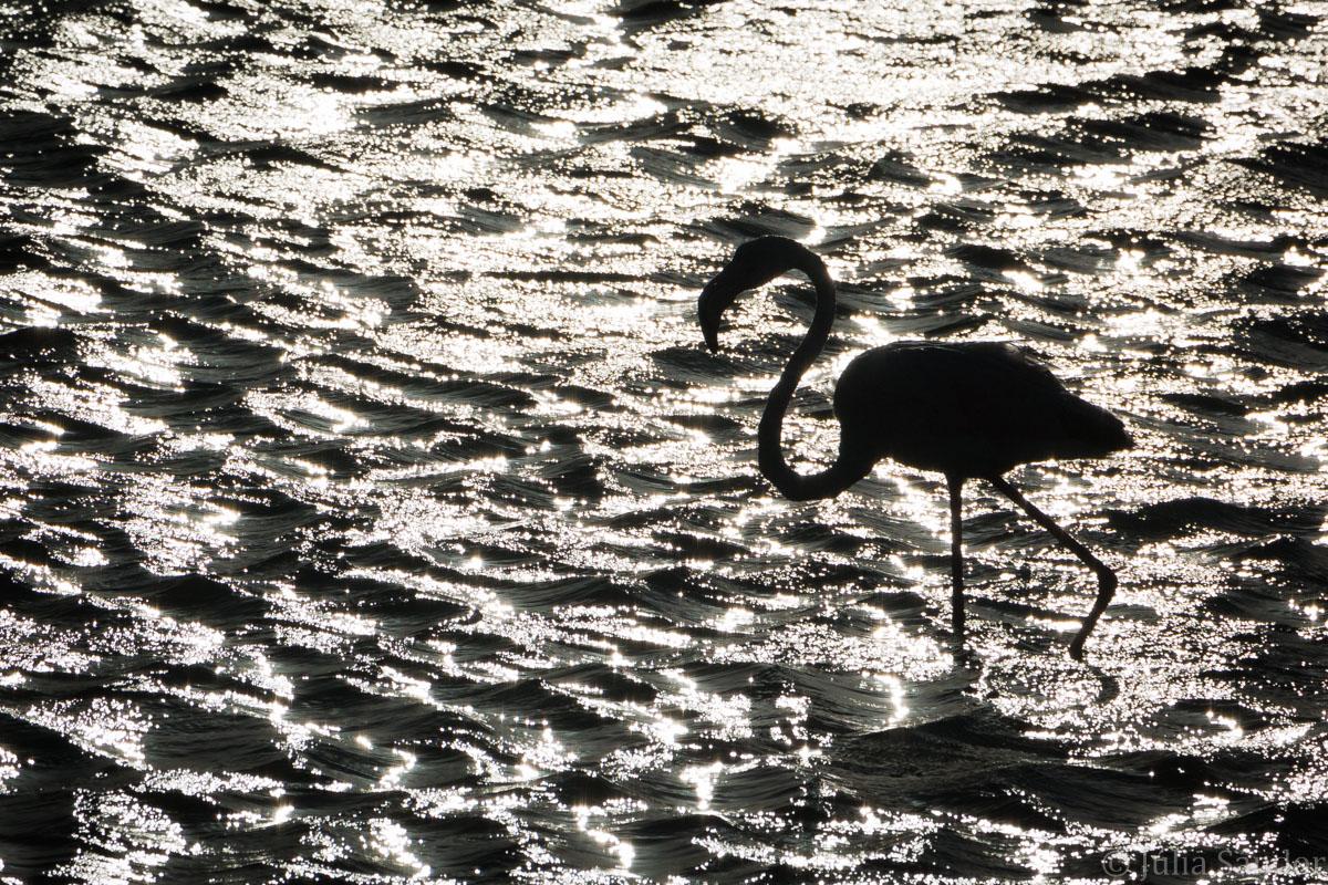 Flamingo in sun set