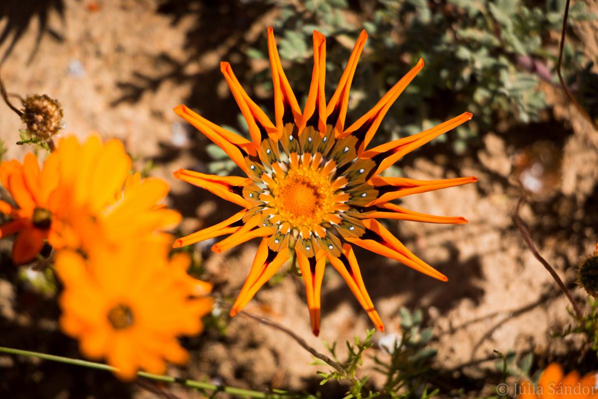 Orange flower in Namaqualand