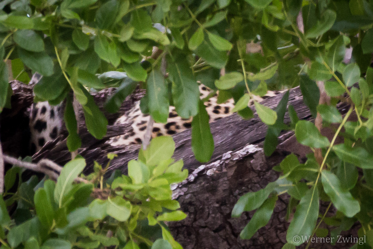 The big 5 of Africa: : Leopard hiding in the tree