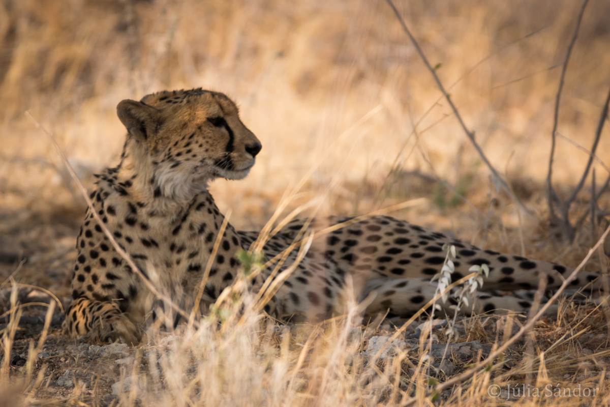 The Big 5: Cheetah in Etosha