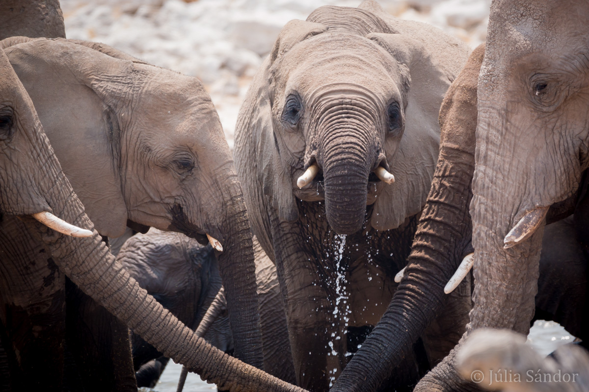 Etosha elephants