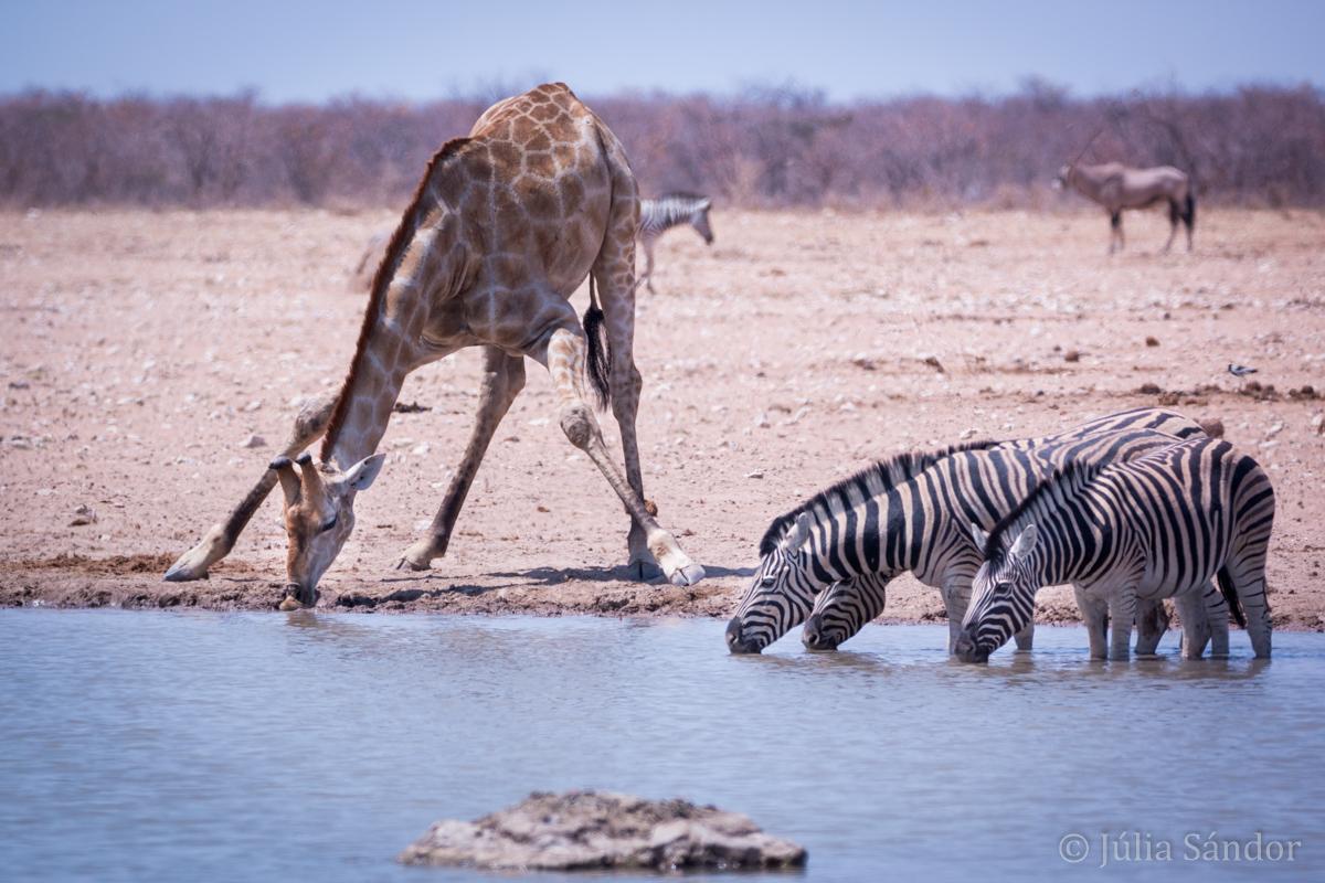 Etosha giraffe and zebras