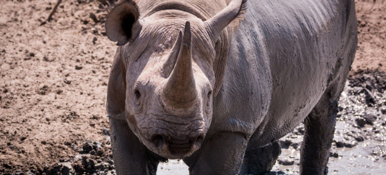 One of the Big 5: the black rhino