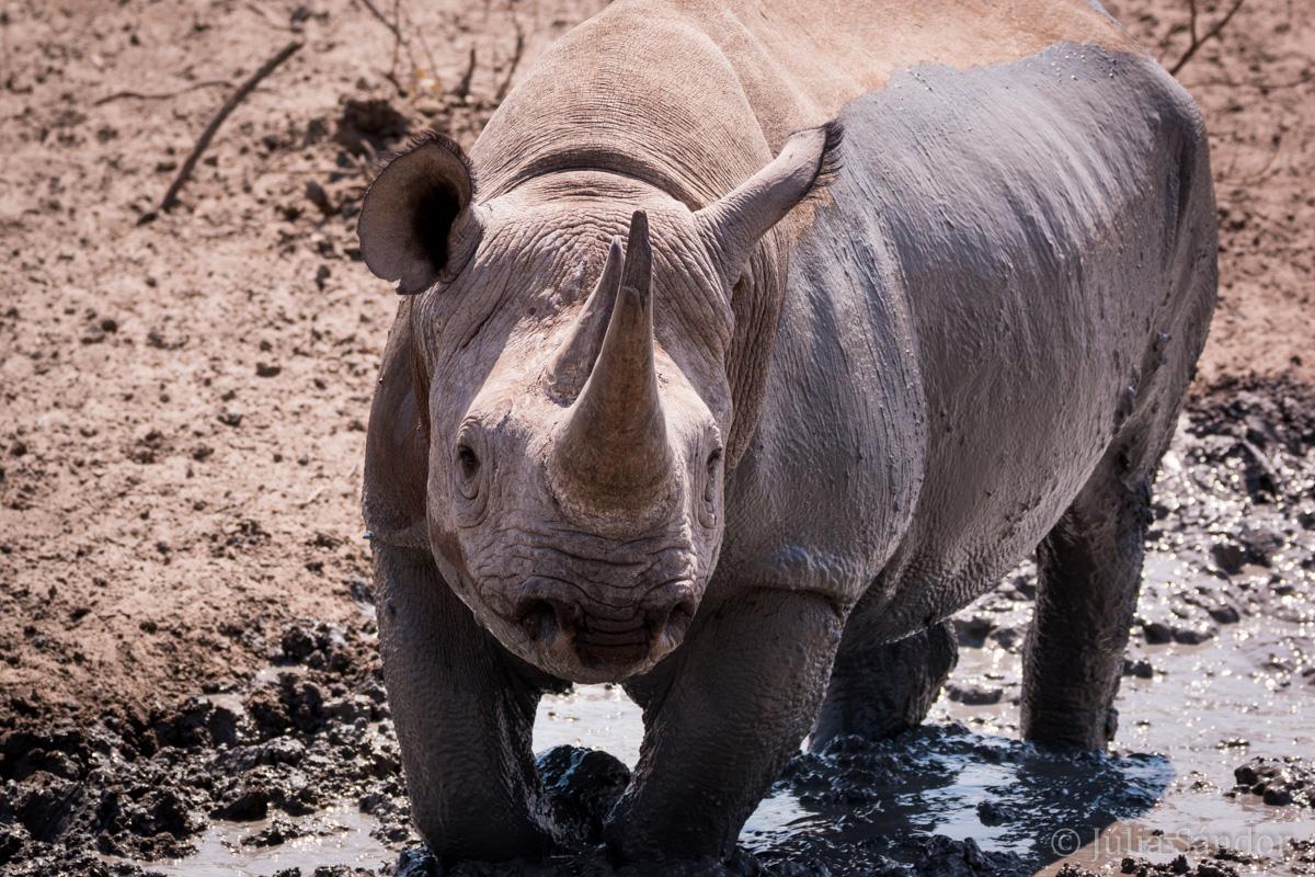 One of the Big 5: the black rhino