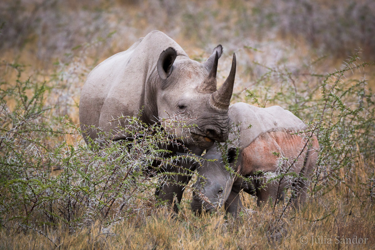 """Rhino """"baby"""" with his mother"""