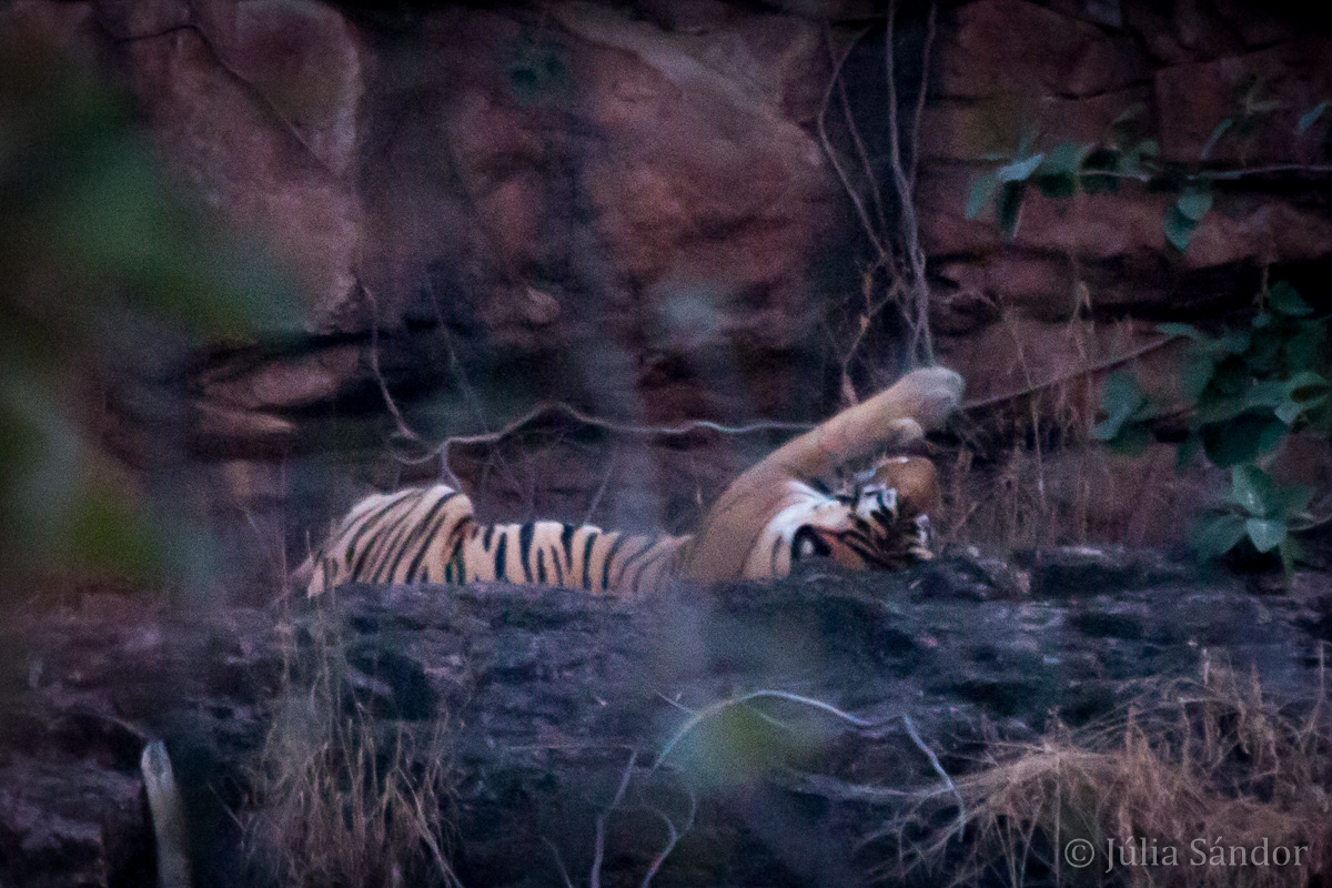 India Impressions: Tiger stretching his legs in Ranthambore National Park