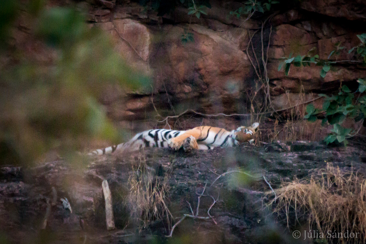 India Impressions: Tiger in Ranthambore National Park