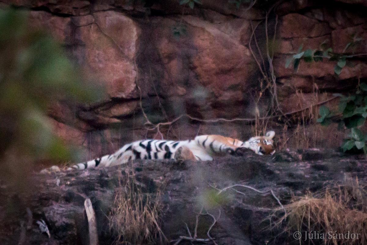 India Impressions: tiger