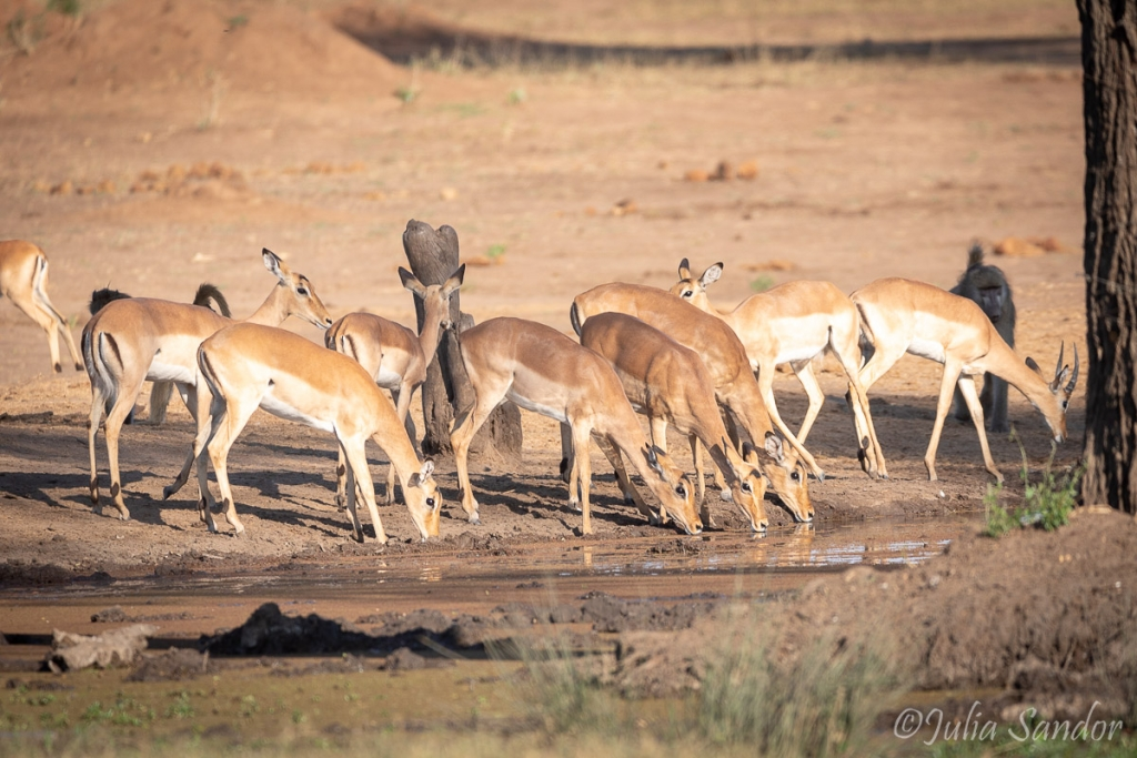 Impalas drinking at the waterhole in Senyati