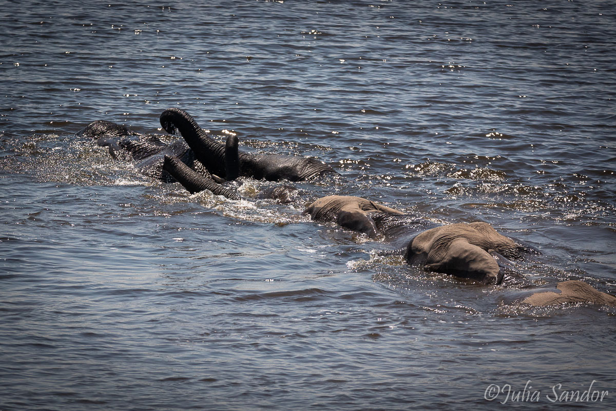 Elephants crossing the Chobe River in Botswana