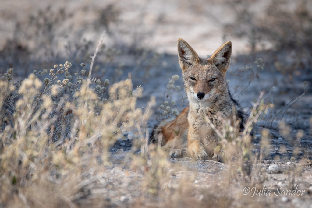 Jackal taking a rest after night hunt in the Kalahari