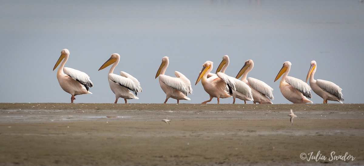 Pelicans at Pelican point - Walvis Bay Namibia